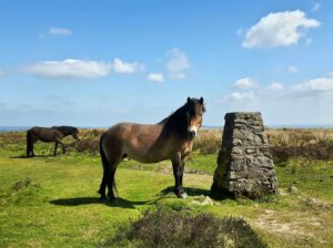 Exmoor Pony next to Winsford Hill Stone