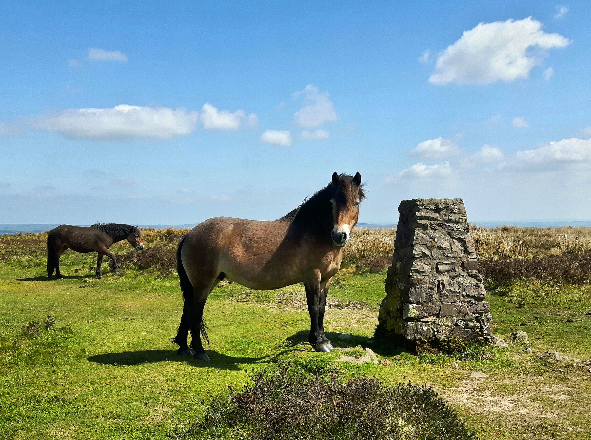 Exmoor Pony next to Winsford Hill Stone