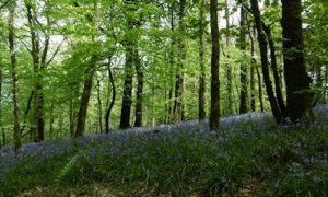 Bluebells at Stoodleigh