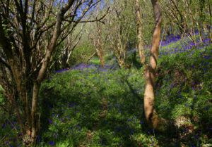 Bluebells at Buzzards Woodland
