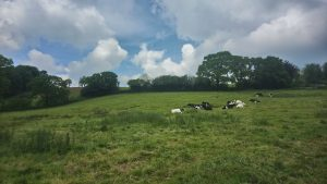 Cows in Clayhidon
