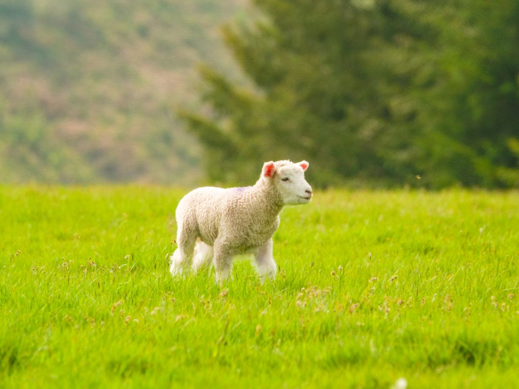 a lamb in a field
